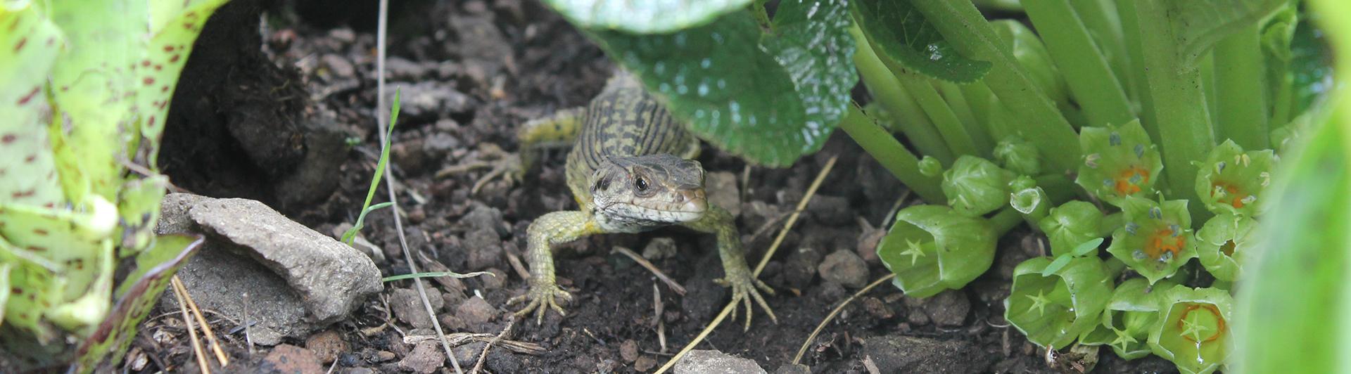 Lizard Polinates