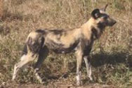 Description: Home Page Photo - African Wild Dog Tags: African Wild Dog, african, wild, dog