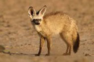 Description: Home Page Photos - Bat-eared fox Tags: Photo, Bat-eared fox