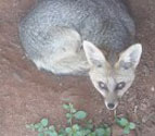 Description: Home Page Photo - Cape fox Tags: Cape fox, jackal, cape