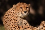 Description: Home Page Photo - Cheetah 3 Tags: Cheetah
