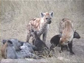 Description: Home Page Photo - Hyaenas Tags: Hyaenas, hyenas