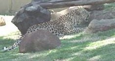Description: Home Page Photo - Leopard Tags: Leopard