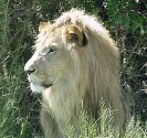Description: Home Page Photo - Lion 2 Tags: Lion
