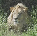 Description: Home Page Photo - Lion Tags: Lion