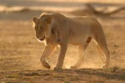 Description: Home Page Photo - Lioness Tags: Lioness