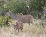 Description: Home Page Photos - Kudu Tags: Kudu