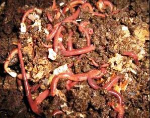 earthworm farming