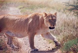 Description: INORG2009 Keywords: Photo, Lioness
