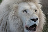 Description: INORG2009 Keywords: Photo,White, Lion, White Lion